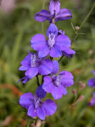 Flower essence Larkspur