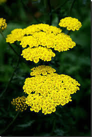 Flower Essence Yarrow