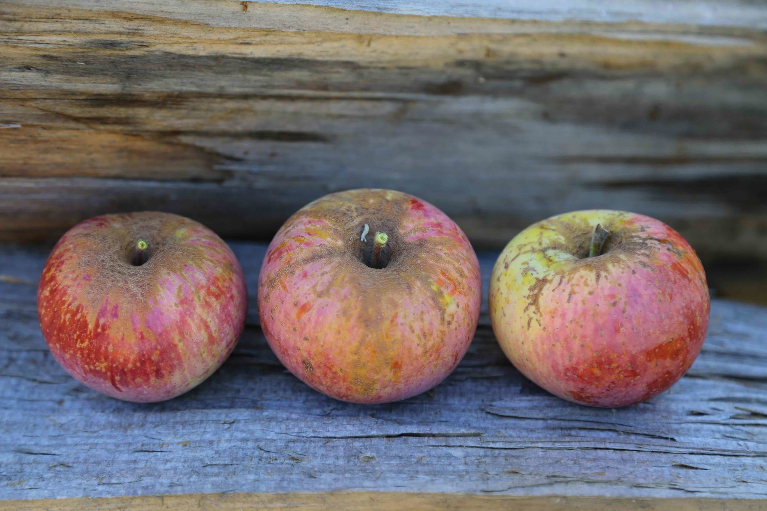 Dutch Mignonne Apple