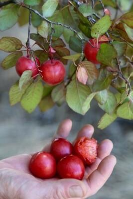 Very Cherry Plum
