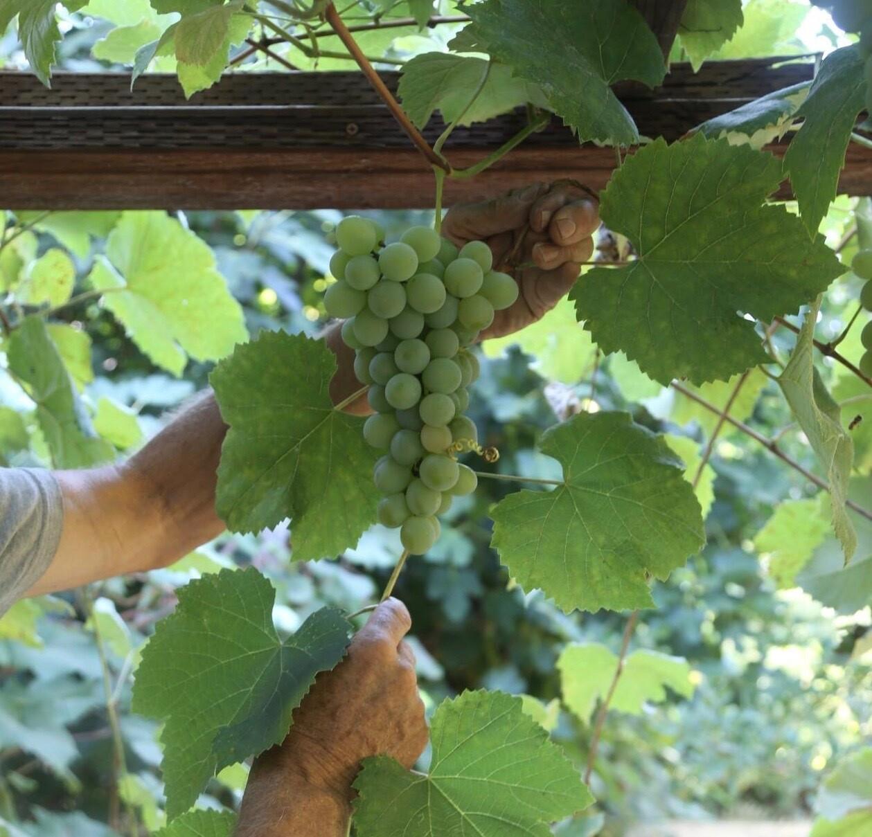 Golden Muscat Grape