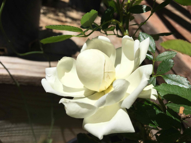 White Pearl Rose