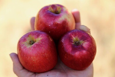 Calville Rouge Apple