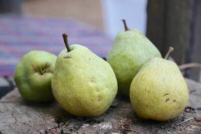 Kieffer Pear (Bear Pear)