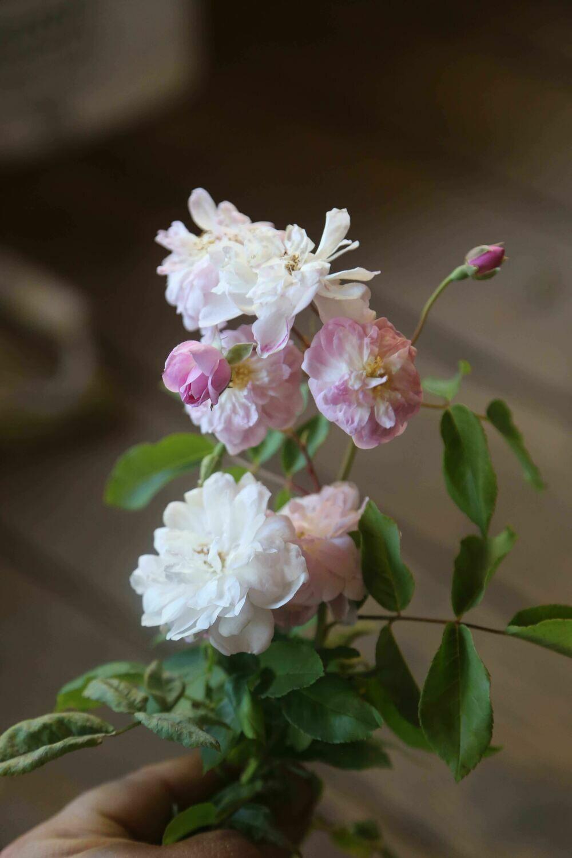 NSJ Noisette Rose