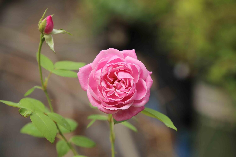 Leland's 100 Year Rose