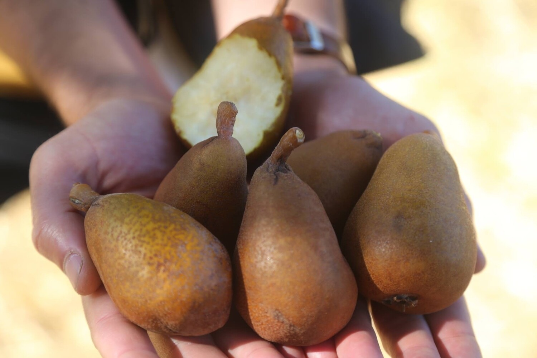 Potato Pear