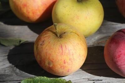 1920's Apple