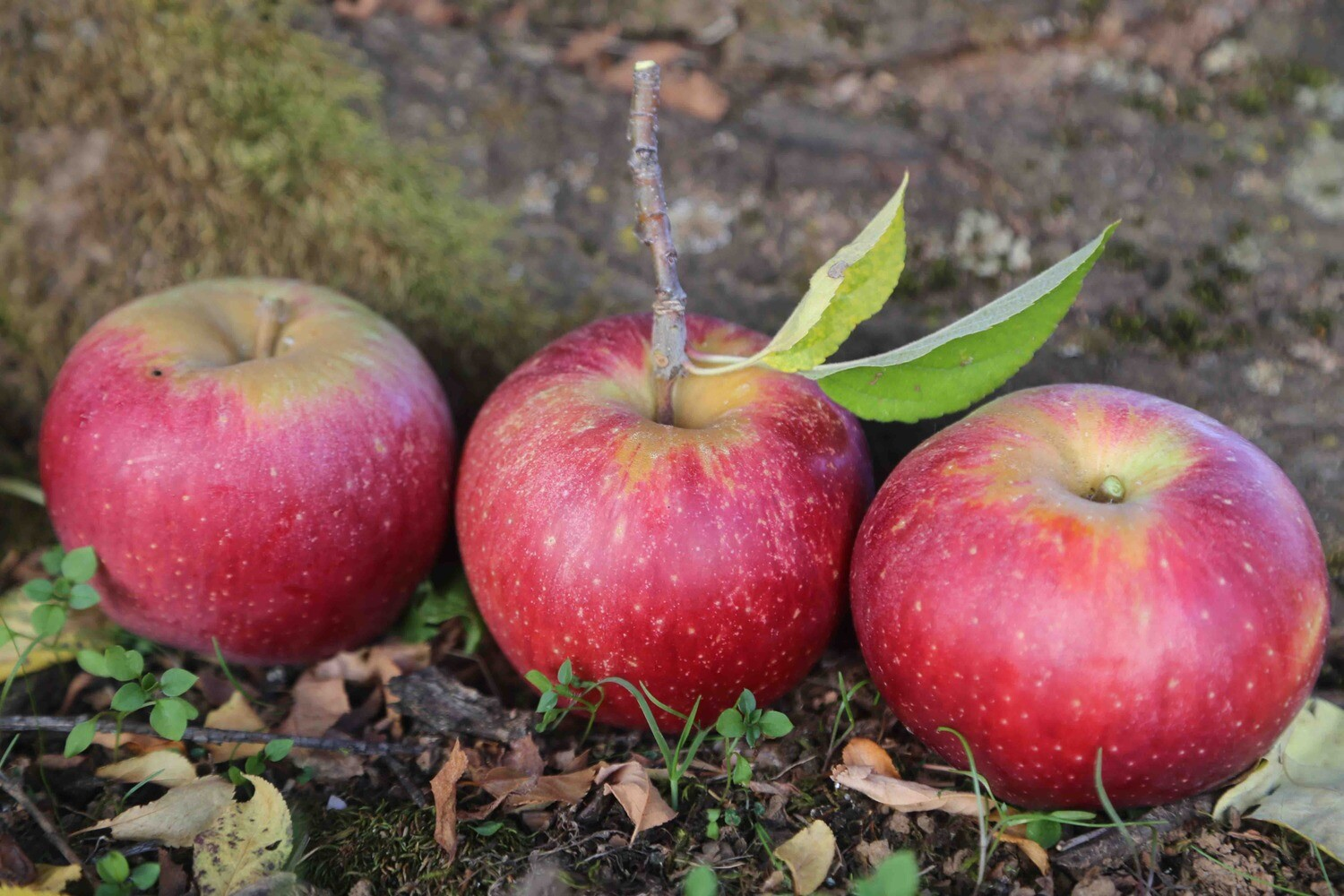 Dutch Flat Apple