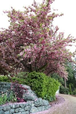 Kwanzan Cherry Blossom