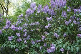 Kate Wolf Lilac