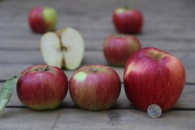 Twenty Ounce Monarch Apple (aka