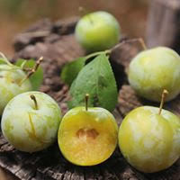 Leland's Green Plum