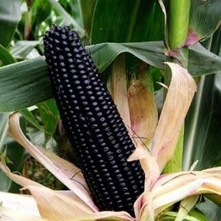 Black Aztec Corn