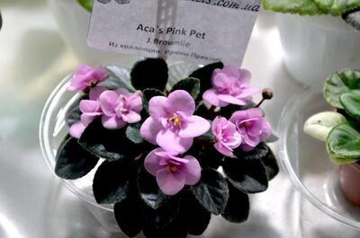 Aca's Pink Pet