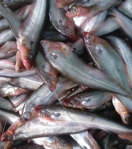 Pabda Fish 800g