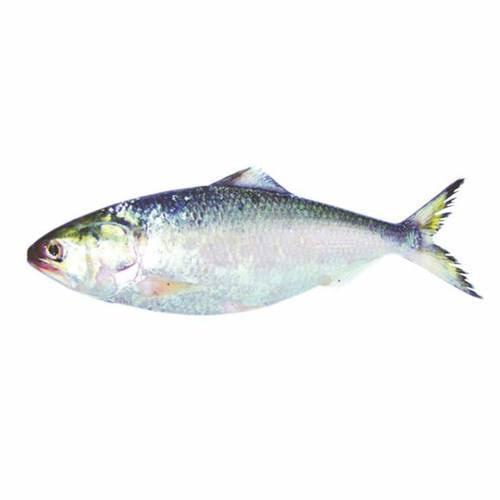 Hilsha Fish whole 1kg
