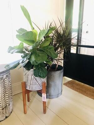 Large House Plant