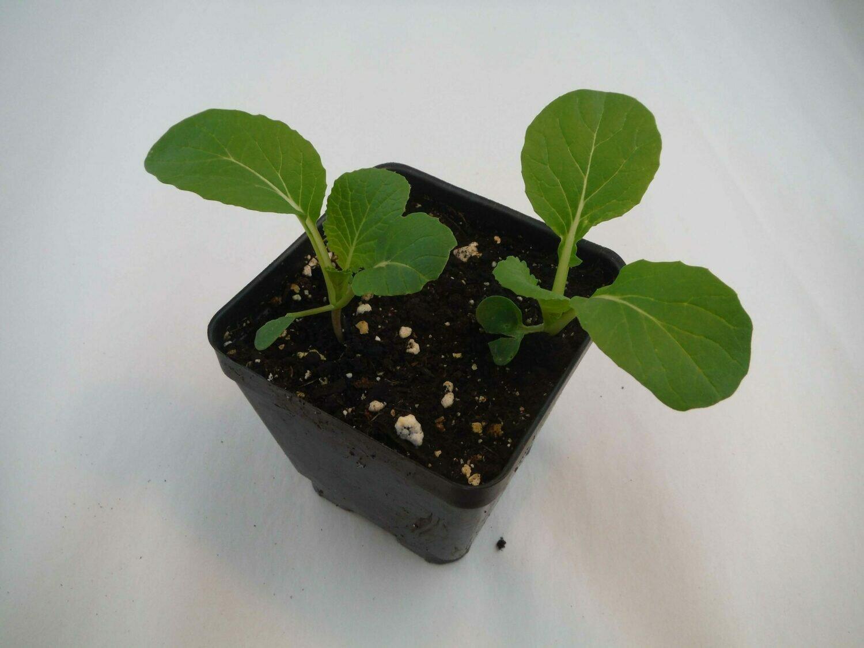 Bok Choy Seedling (2 per pot)