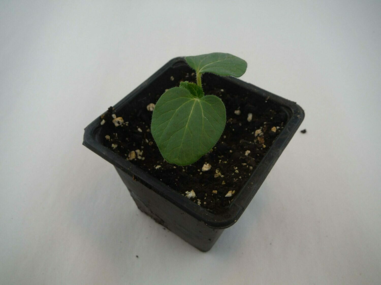 Okra Seedling (1 per pot)