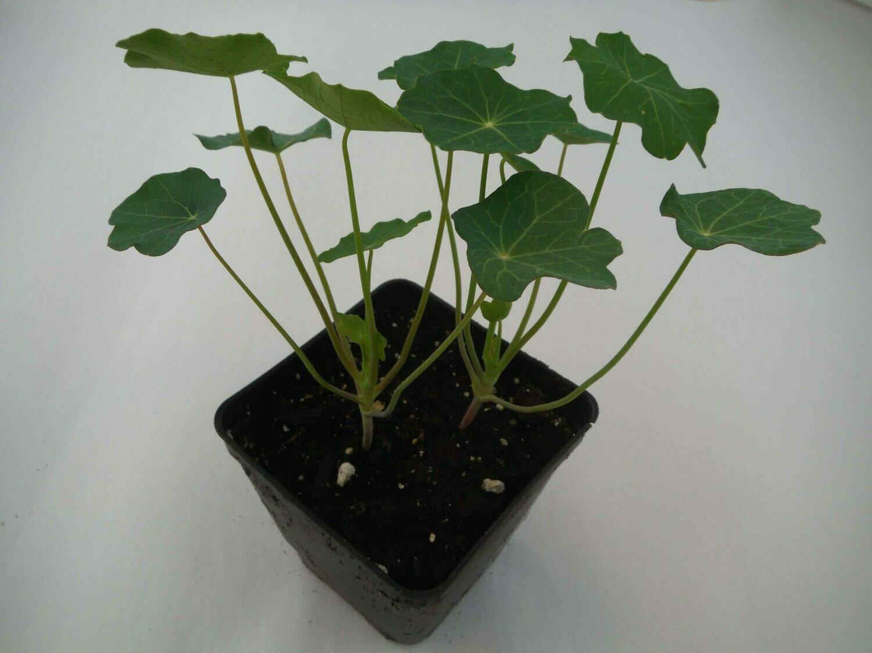 Nasturtium Seedling (2 per pot)