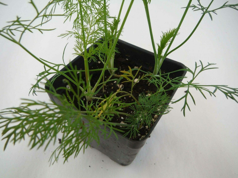 Dill Seedling (4 per pot)
