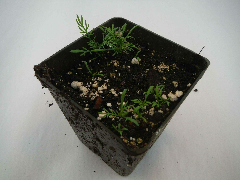 Chamomile Seedling (4+ per pot)