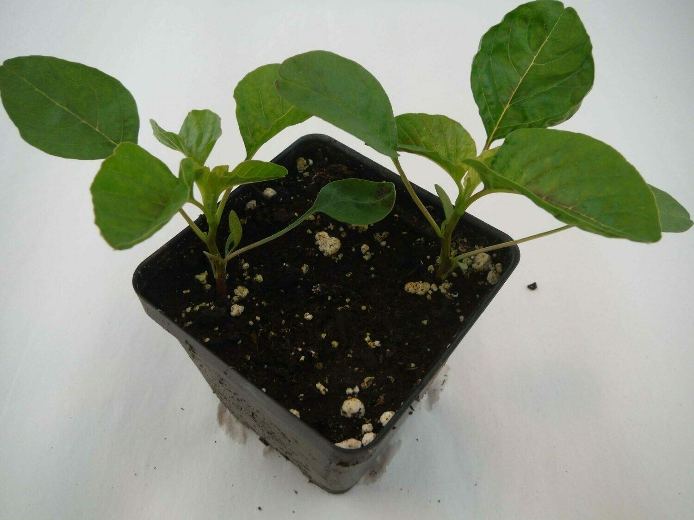 Callaloo Seedling (2 per pot)