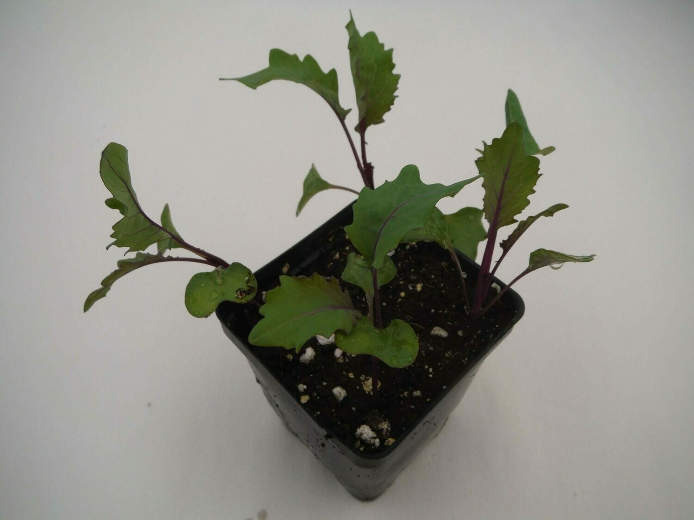 Kohlrabi Seedling (4 per pot)