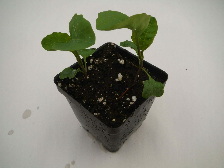 Gai Lan Seedling (2 per pot)