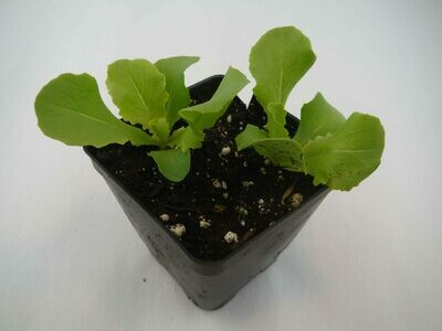 Lettuce Seedling (2 per pot)