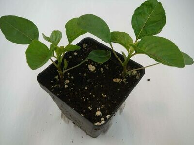 Callaloo Seedling (2 per pot)