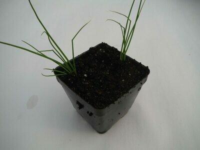 Onion Seedling (8 per pot)