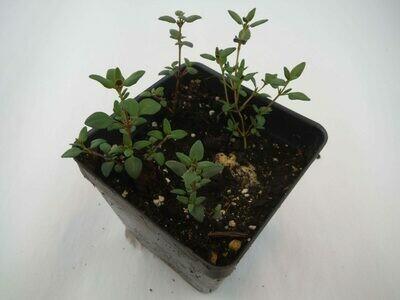 Thyme Seedling (4 per pot)