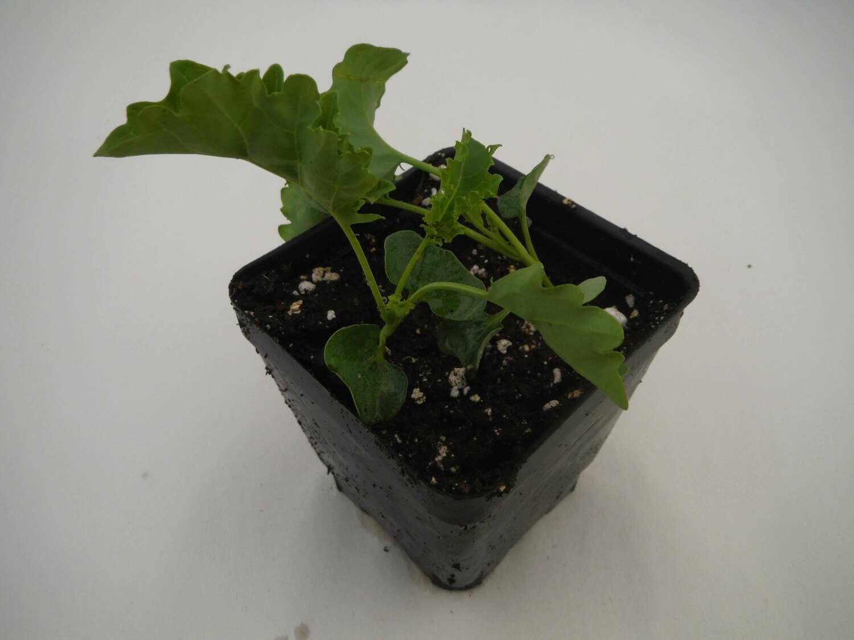 Kale Seedling (Curly type; 2 per pot)