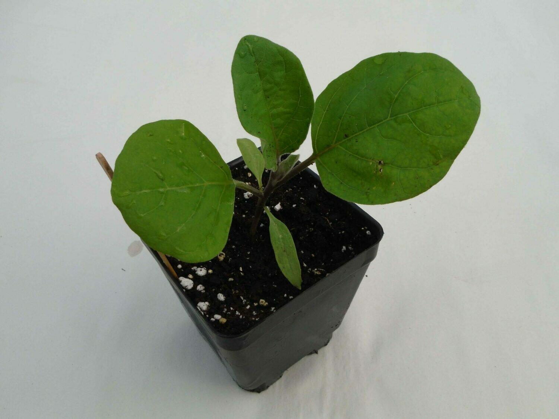 Eggplant Seedling - Var: Traviata (1 per pot)