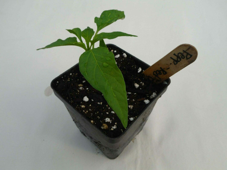 Hot Pepper Seedling - Var: Red Flame (1 per pot)