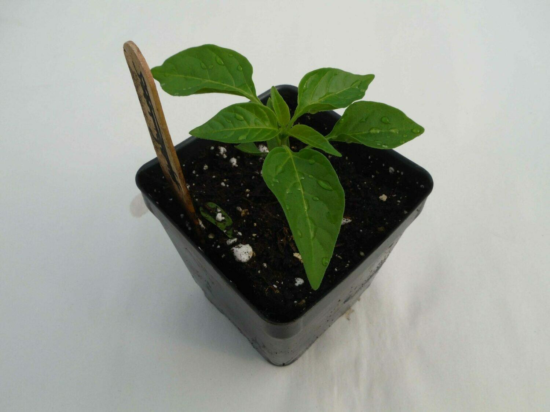 Hot Pepper Seedling Var: Scotch Bonnet (1 per pot)