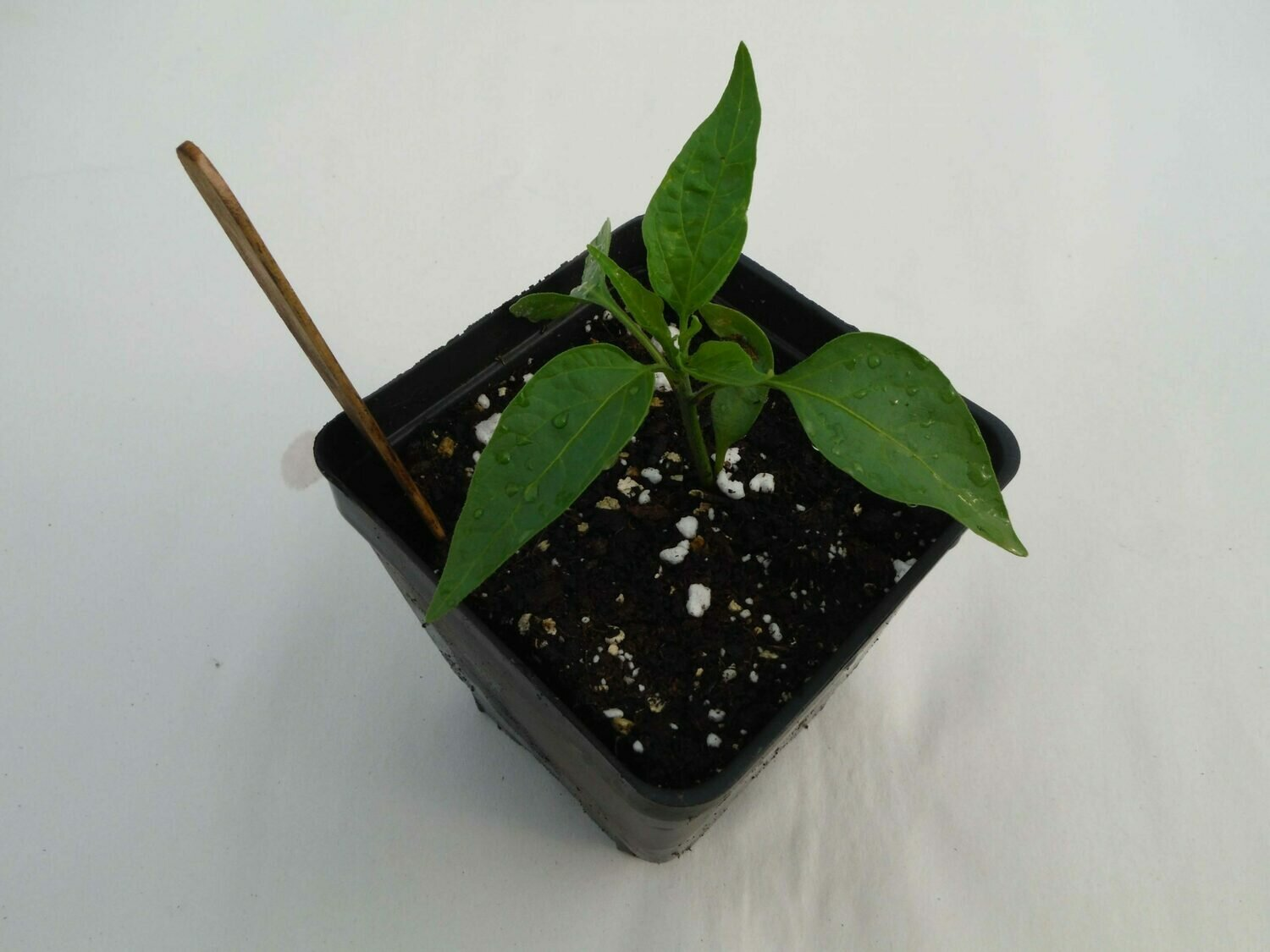 Hot Pepper Seedling - Var: Early Jalapeno (1 per pot)