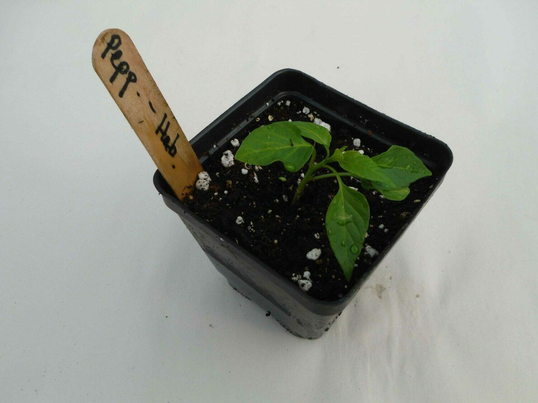 Hot Pepper Seedling - Var: Habanero(1 per pot)