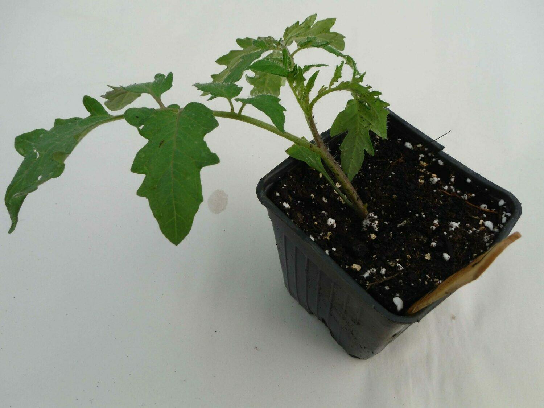 Tomato Seedling - Var: Green Zebra (1 per pot)