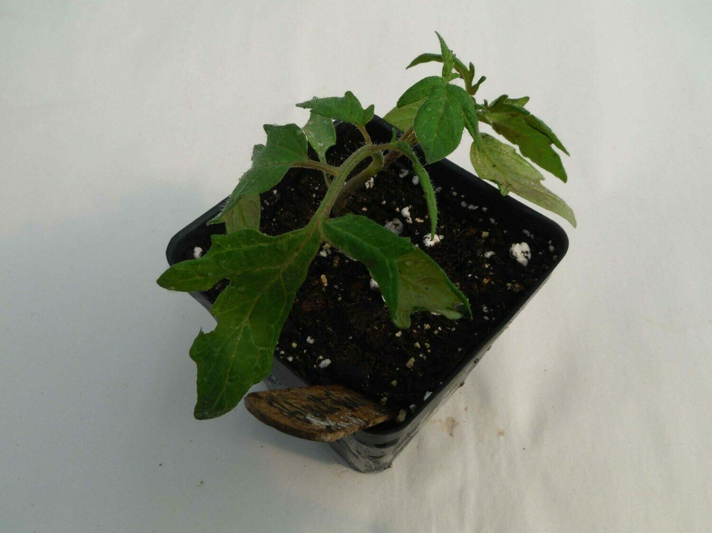 Cherry Tomato Seedling - Var: Black Cherry (1 per pot)