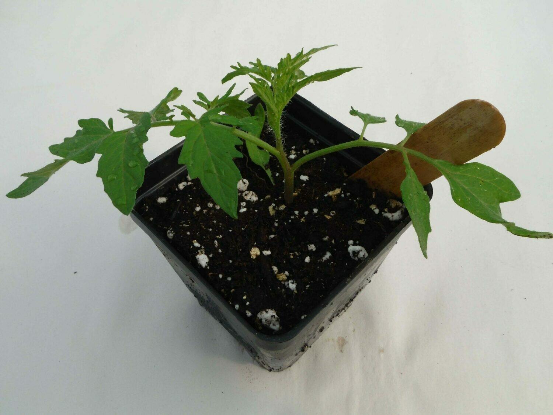 Cherry Tomato Seedling - Var: Sakura (1 per pot)