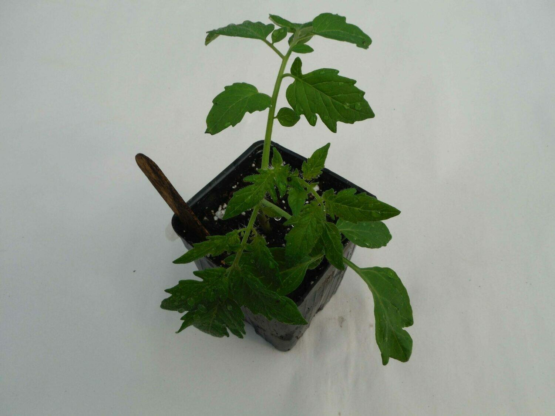 Cherry Tomato Seedling - Var: Esterina (1 per pot)
