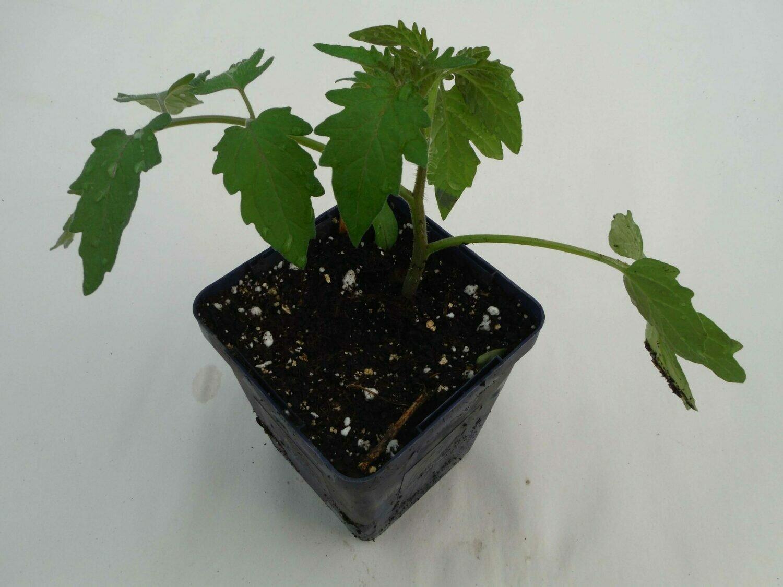 Tomato Seedling - Unknown variety (1 per pot)