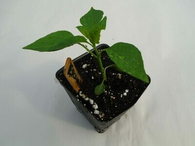 Sweet Pepper Seedling - Var: Escamillo (1 per pot)