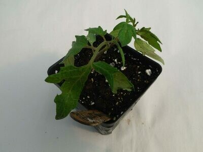 Cherry Tomato Seedling - Var: Black Cherry (1 per pot)