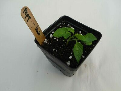 Hot Pepper Seedling - Var: Habanero(1 per pot)