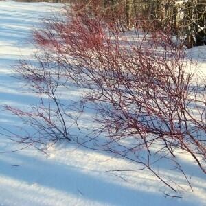 Red Osier Dogwood (10 stems)