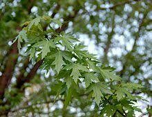 Silver maple (10 stems)